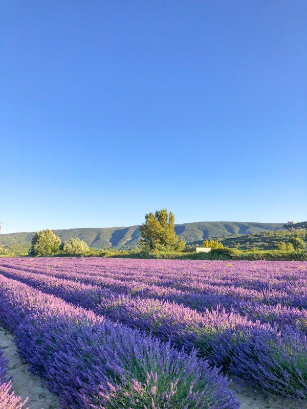 lacoste lavender