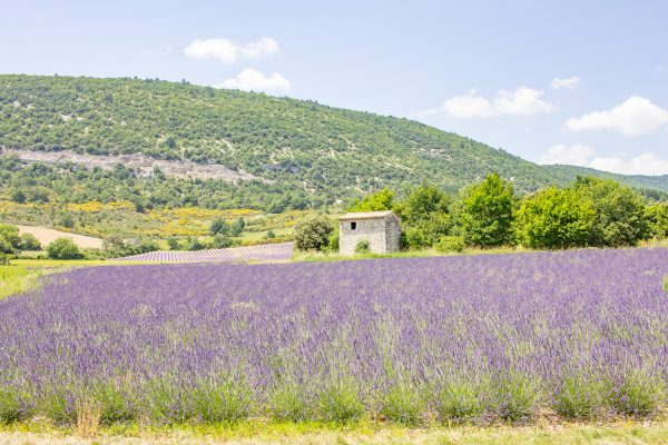 seeing the lavender in provence 3